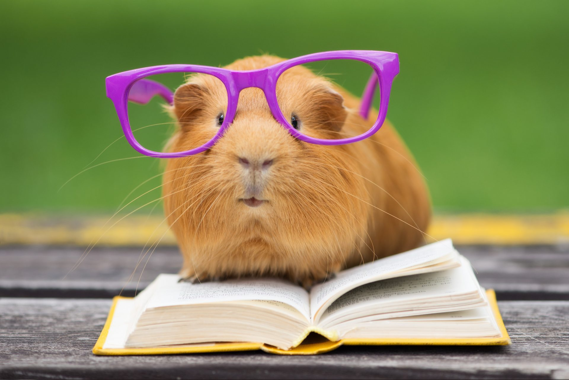 guinea pig reading