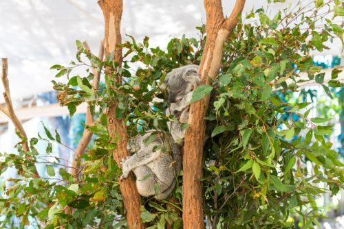 Koala memanjat pohon