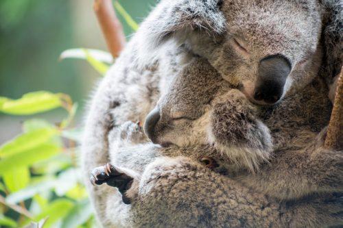 induk dan anak koala saling berpelukan