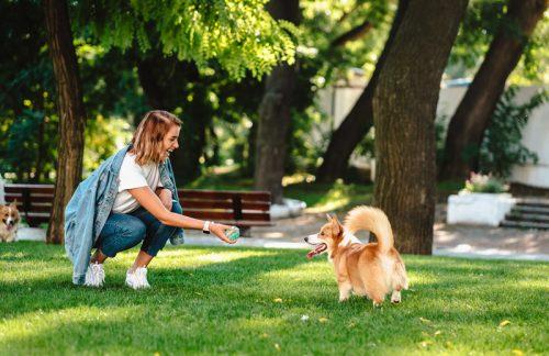 seorang wanita sedang melatih anjing corgi