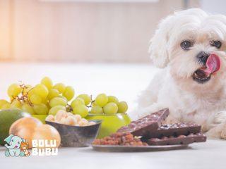 Makanan berbahaya bagi anjing