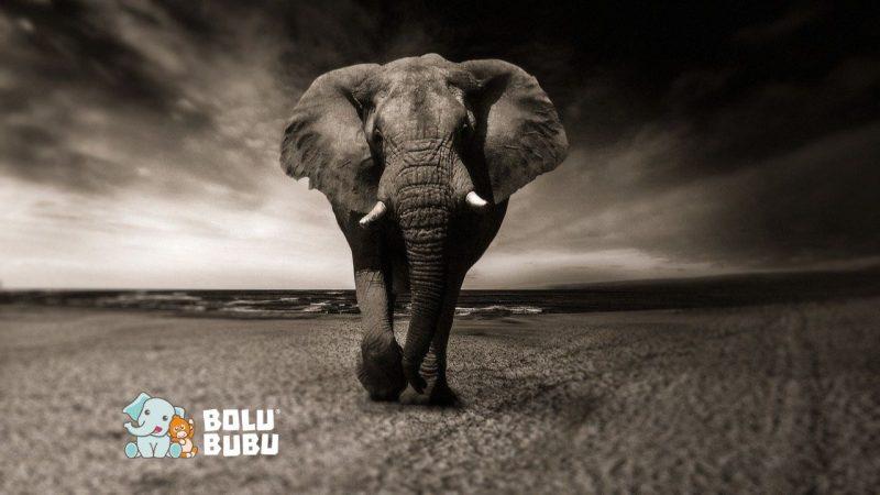 evolusi gajah tanpa gading