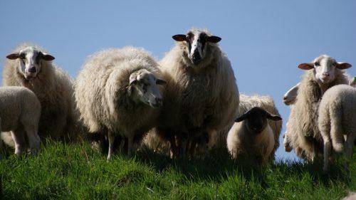 domba berbulu lebat
