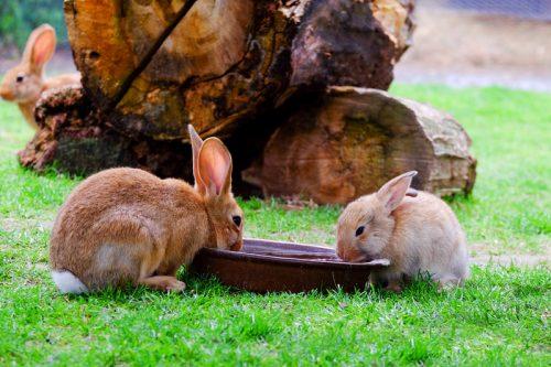 dua kelinci minum air di taman