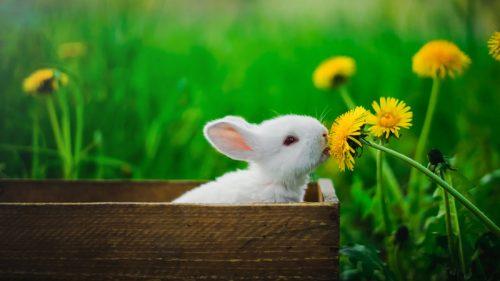 kelinci putih di dalam kotak sedang mencium bunga