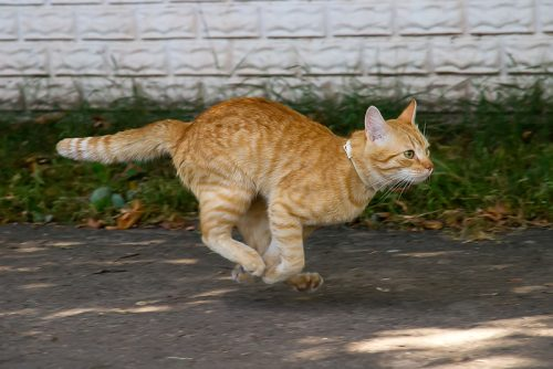 kucing oranye sedang berlari