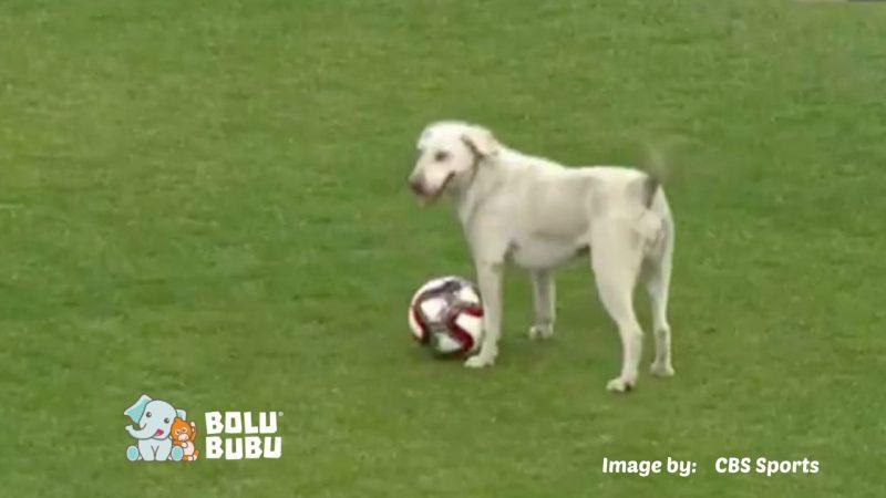 anjing liar bermain bola di tengah pertandingan profesional