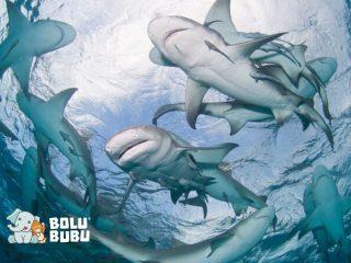 cara hiu tidur meski tetap berenang