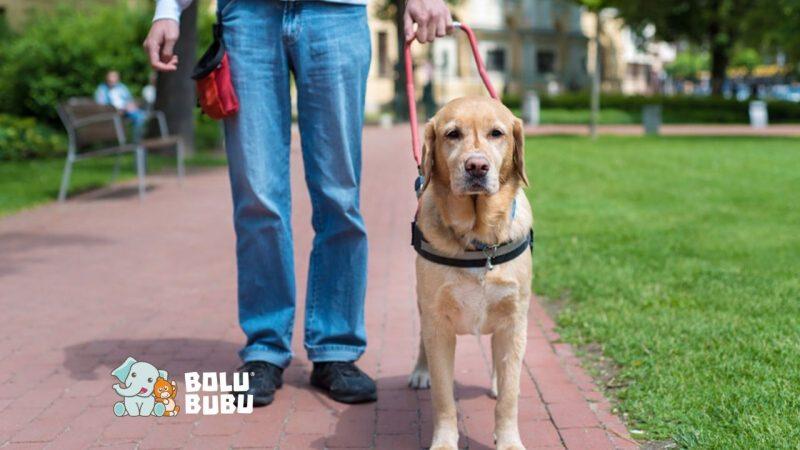 fakta tentang service dog