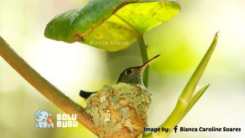kolibri membangun sarang beratap