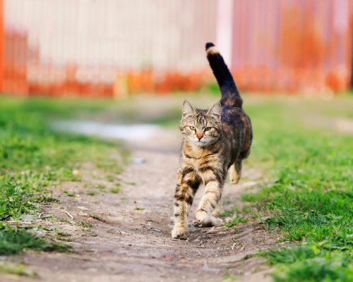 kucing kampung berlari