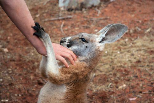 manusia berinteraksi dengan kanguru