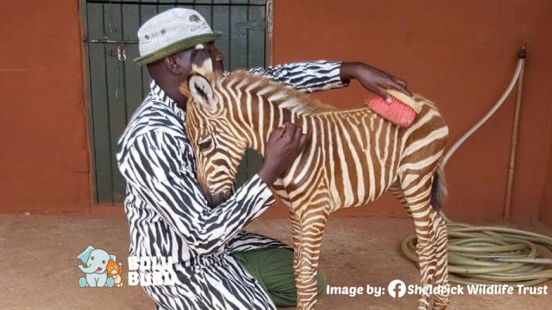 mengasuh zebra dengan pakaian bermotif zebra