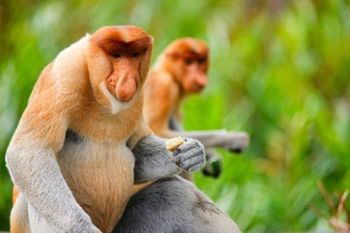 monyet berhidung besar di hutan