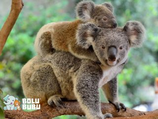 induk koala dan anaknya