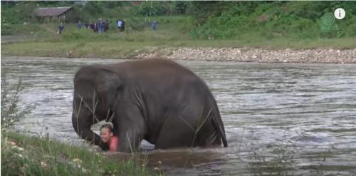 bayi gajah menyelamatkan manusia