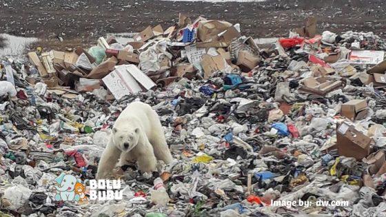 beruang kutub mencari makan dari tempat sampah