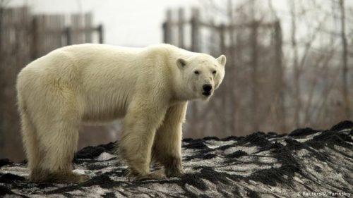 beruang kutub yang kelaparan