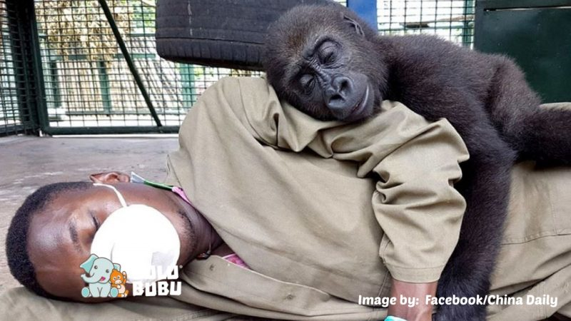 gorila dan manusia sedang tidur bersama
