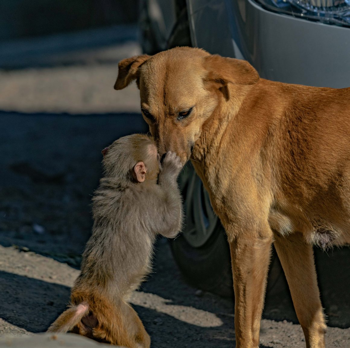 induk anjing mengadopsi bayi monyet