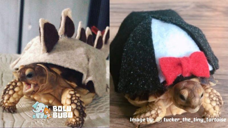 Tucker kura-kura memakai baju