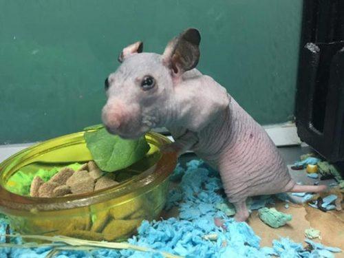 hamster tanpa bulu