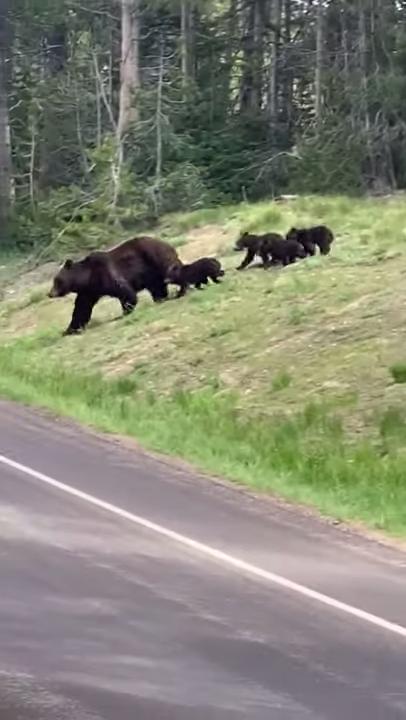 induk beruang bersama dengan keempat anaknya