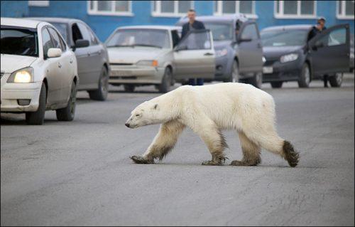 beruang kutub berjalan di jalan raya