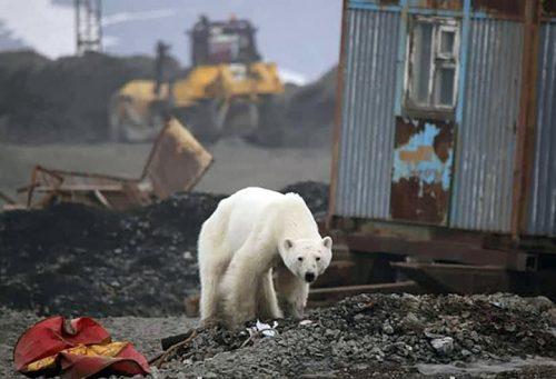 beruang kutub ditemukan di Norilsk