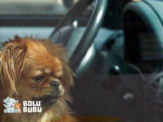 heat stroke anjing di dalam mobil