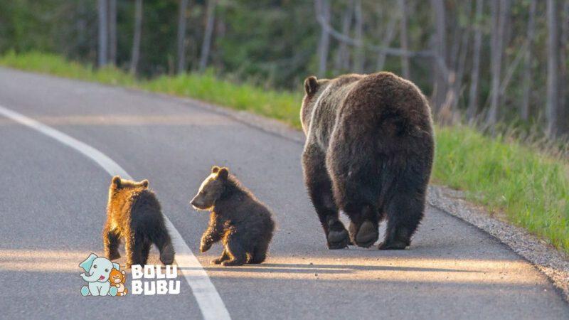 keluarga beruang menyeberang jalan