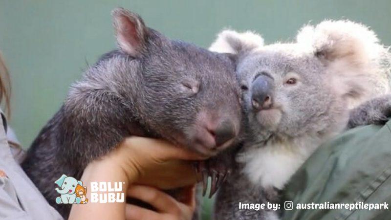 persahabatan koala dan wombat