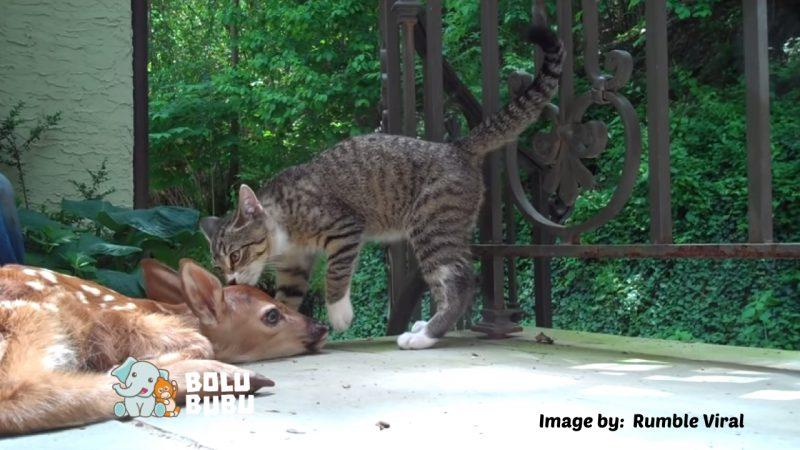 persahabatan rusa dan kucing