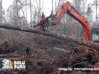 orangutan menyerang bulldozer