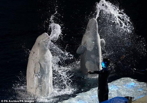 paus beluga menyemburkan air dari mulutnya