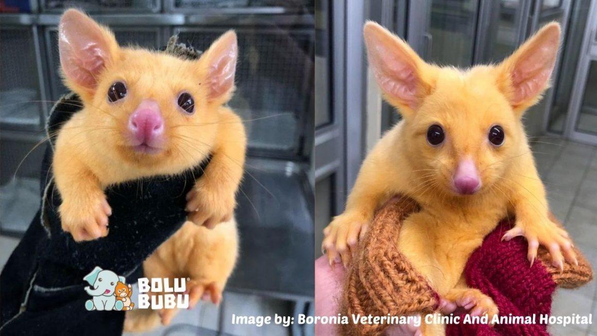 baby golden possum