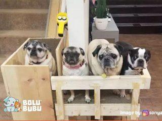 elevator anjing pug