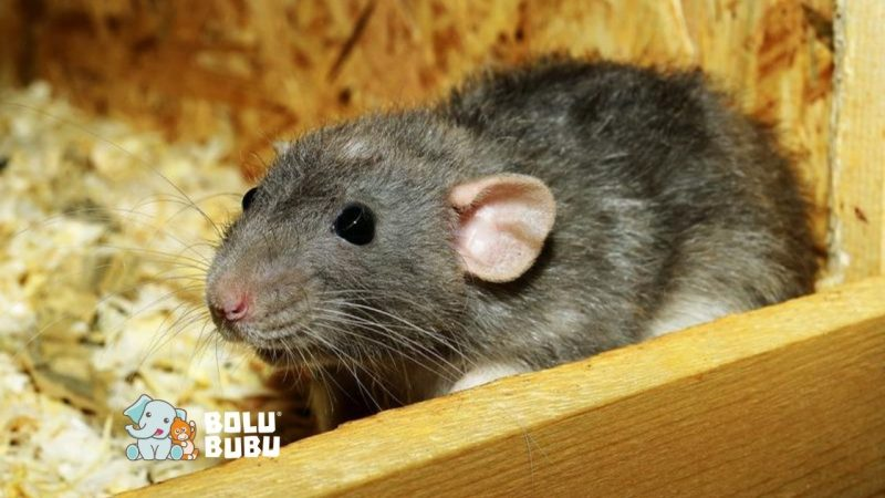 kontrasepsi untuk tikus