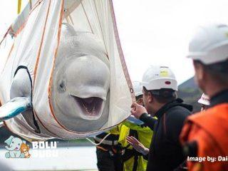 paus beluga yang diselamatkan