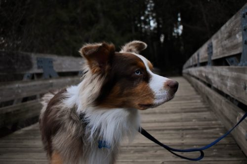 anjing berhidung panjang
