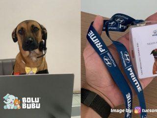 tucson anjing yang menjadi maskot dealer mobil