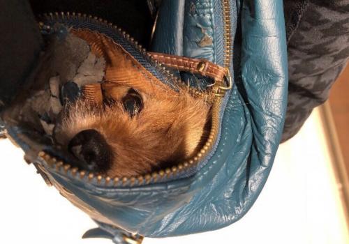 anjing di dalam tas