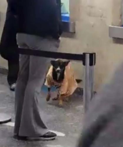 anjing liar pakai kaus
