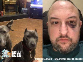 anjing pitbull yang menyelamatkan pawrent-nya