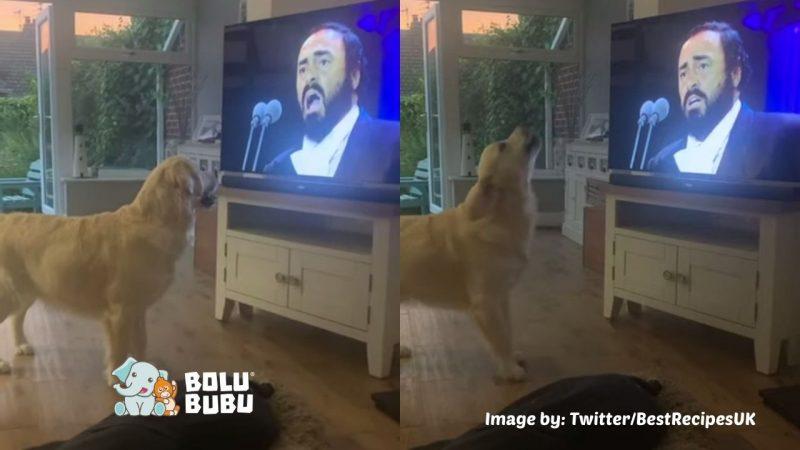 anjing yang berduet dengan pavarotti