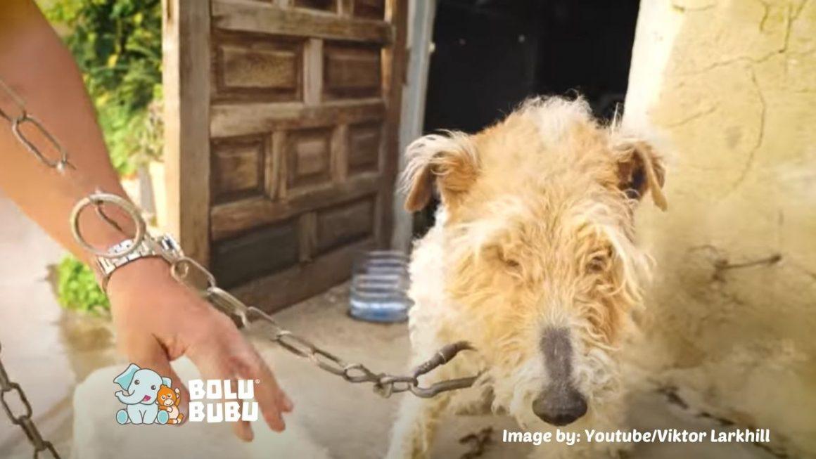 anjing yang seumur hidupnya dirantai