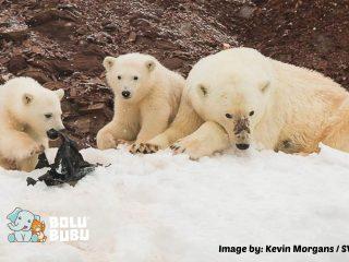beruang kutub mengunyah sampah plastik