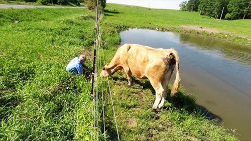 seorang pria menyelamatkan anak sapi