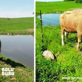 induk sapi dan anaknya