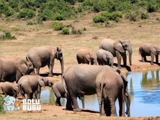 kawanan gajah sedang minum di pinggir danau